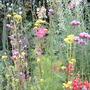 patrinia scabiosifolia with verbena bonariensis
