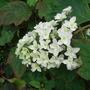 Hydrangea quercifolia 'Snow Flake' - 2009 (Hydrangea quercifolia)