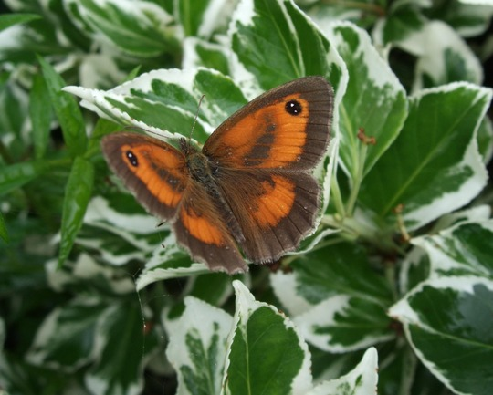 Gatekeeper on Euonymus