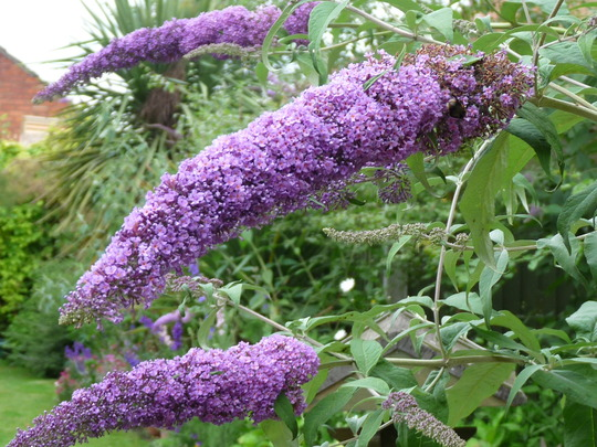 Purple Buddleia (Buddleia)
