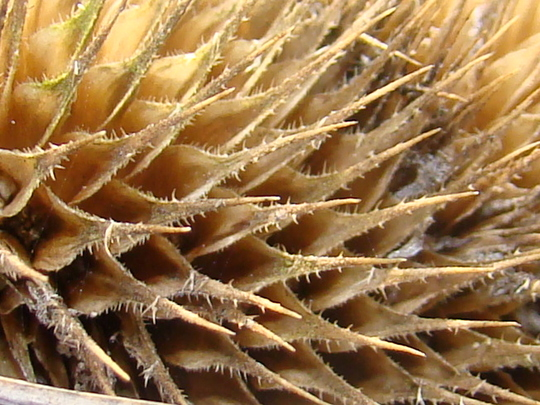 close up of last years teasel.