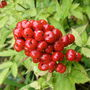 Baneberry (Actaea Rubra)