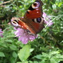 Peacock_butterfly