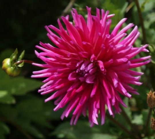 Dahlia Purple Gem (Dahlia Pinnata)