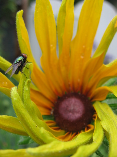 blackeyed susan and fly (Rudbeckia fulgida (Black-eyed Susan))