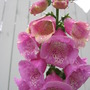 foxglove in the rain (Digitalis purpurea (Common foxglove))