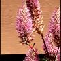 Mulla Mulla plant (Berberis thunbergii (Barberry))