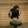 Bateleur_eagle