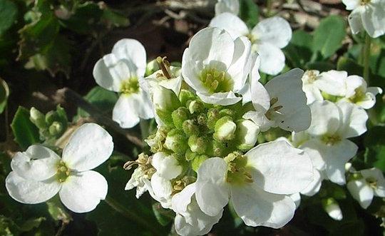 White arabis (Arabis)