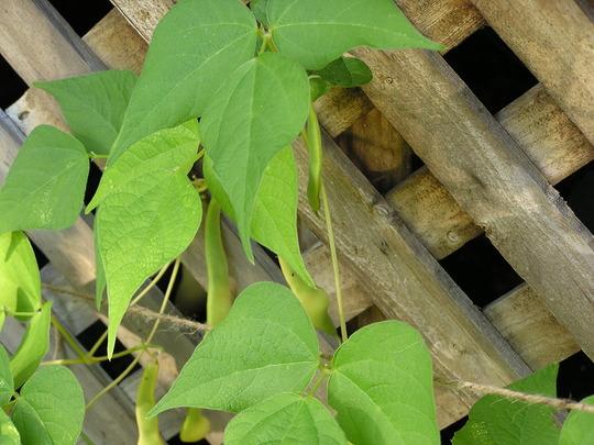 Gold of Bacau Beans (Phaseolus vulgaris (Common garden bean))