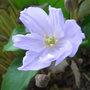 Jeffersonia dubia (Jeffersonia dubia)