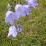 harebells in the fields