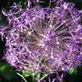 Allium_christophii_00000
