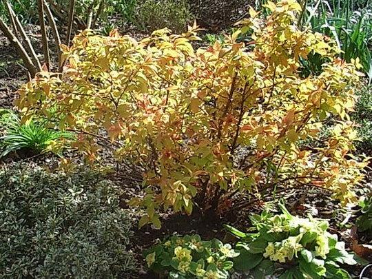Spiraea japonica 'Goldflame' - new foliage (Spiraea japonica)