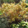 Spiraea japonica 'Goldflame' - new foliage (Spiraea japonica)