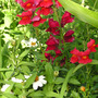 Snapdragons and other annuals