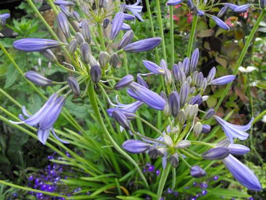Agapanthus (Agapanthus africanus (African blue lily))
