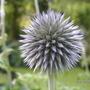 Echinops_ritro
