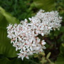 White_sedum_flower