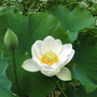 Lotus_alba_first_bloom_10years_7_22_09_sm