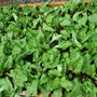 Beets gone wild (Beta vulgaris (Beetroot))