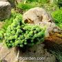 Picea_abies_slamaz