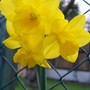Narcissus 'Quince' (Narcissus 'Quince')