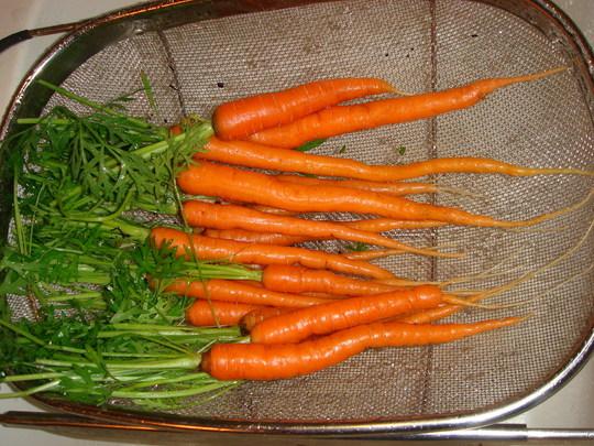 Carrots (Daucus carota (Carrot))