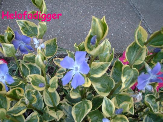 Greater Variegated Periwinkle