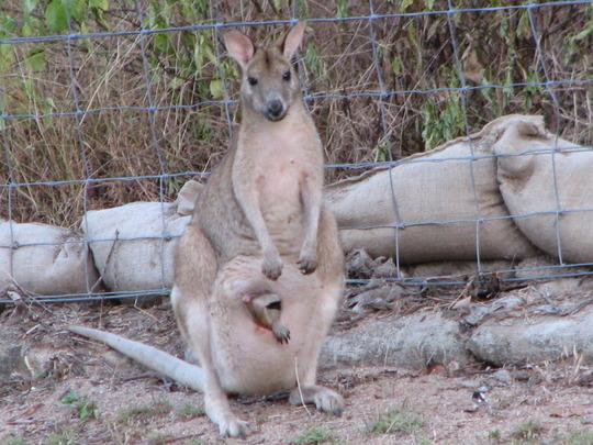 Garden visitor - Agile Wallaby (Macropus agilis) and joey