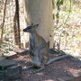 Wallaby_109