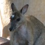Wallaby_111