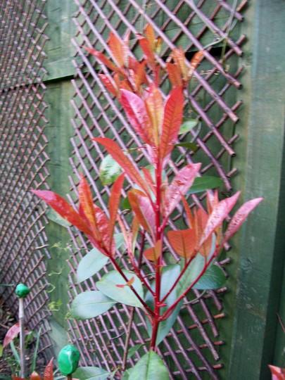 Red Robin (Photinia x fraseri)