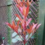Red Robin (Photinia x fraseri)