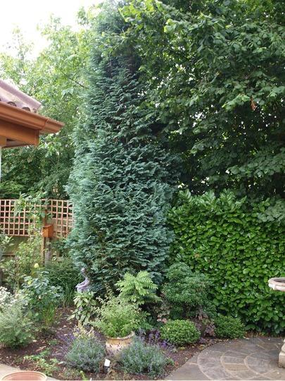 Blue Cedar (Cedrus atlantica 'Glaucus')