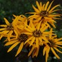 Golden Groundsel flower detail (Ligularia dentata 'Britt Marie Crawford')