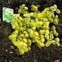 Helichrysum_gold