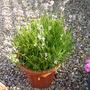 Lavender_augustifolia_rosea