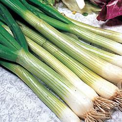 Spring Onion White Lisbon Seeds