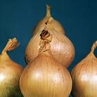 Onion Ailsa Craig Seeds