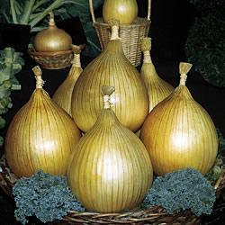 Onion Unwins Exhibition Seeds