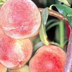 Peach Peregrine Tree