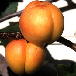 Apricot Goldcot Tree