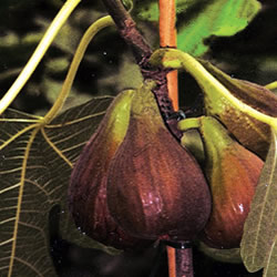 Bavarian Fig Violetta Tree