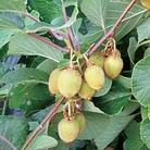 Kiwi Solo Plant