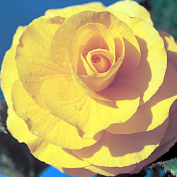 Begonia Double Trumpet Rich Yellow