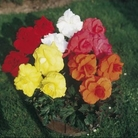 Begonia Double Rosette Trumpet Collection