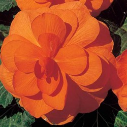 Begonia Double Trumpet Glowing Orange
