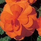 Begonia Double Trumpet Glowing Orange