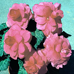 Begonia Double Trumpet Vivid Pink